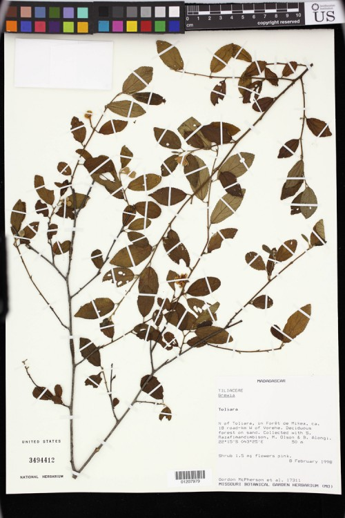 Specimens of the Tiliaceae Family. United States National Herbarium (US).