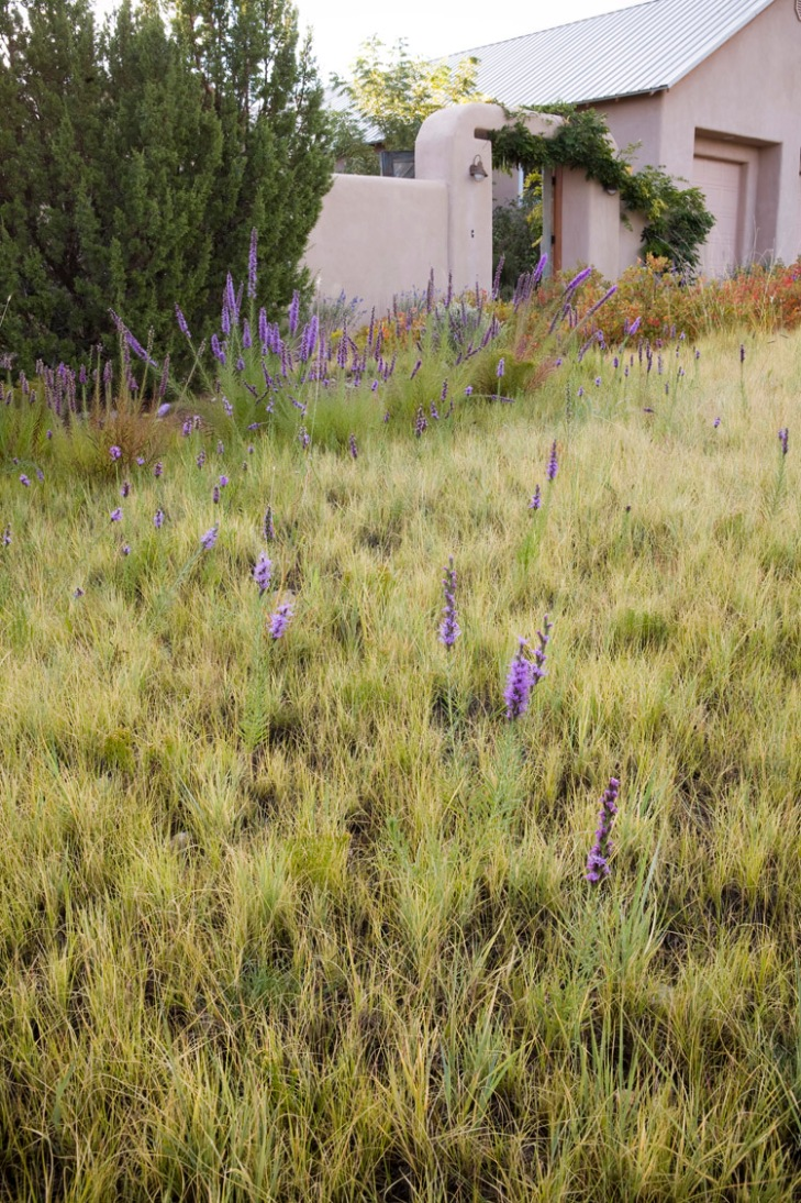 Lawn substitute front yard base grasses of blue grama grass (Bouteloua gracilis) and spiky muhly (Muhlenbergia wrightii) in New Mexico short grass meadow garden with Liatris (dotted blazing star). Photo: Saxon Holt.