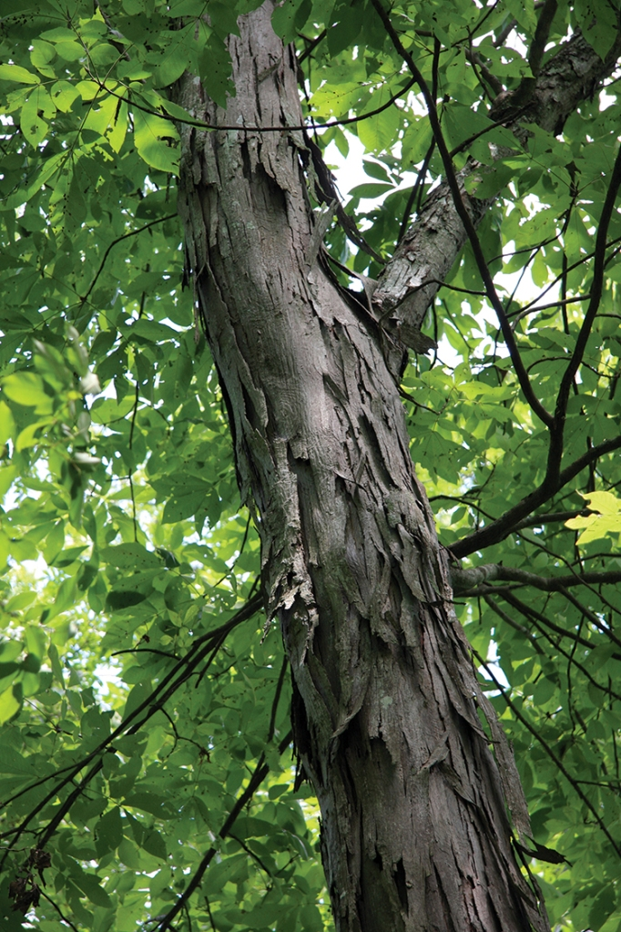 A little unkempt looking, the shagbark is one of the mightiest of North America's trees.