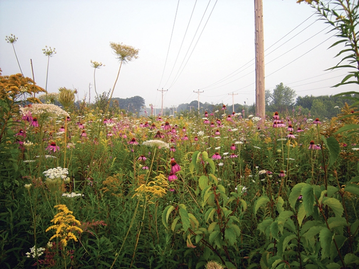Postconstruction, a meadow has formed in the right-of-way used by the power company. Echinacea purpurea (purple coneflower), seeded at the site, is accompanied by volunteers Daucus carota (Queen Anne's Lace) and Solidago canadensis (goldenrod), among other species.